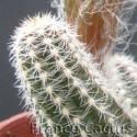 Echinopsis chamaecereus détail