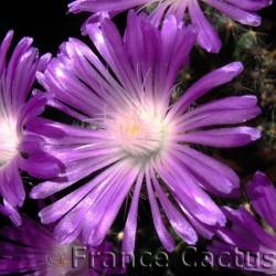 Trichodiadema densum fleur détail