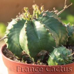 Euphorbia Meloformis 1