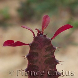 Euphorbia trigona f. rubra détail 1