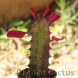 Euphorbia trigona f. rubra 1