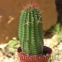 Euphorbia stellispina var. stellispina