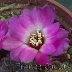 Sulcorebutia rauschii fleur