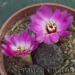 Sulcorebutia rauschii fleurs 1
