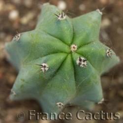 Cereus stenogonus