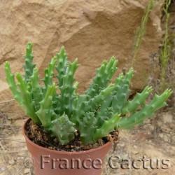 Huernia Schneideriana Pot de 5 cm