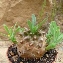 Euphorbia cv. Japonica