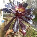 """Aeonium arboreum """"Schwarzkopf"""" 2"""