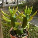 Opuntia Subulata pot de 7x7
