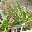 Euphorbia cv. Japonica détail 2