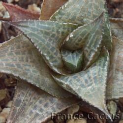 Haworthia venosa ssp. tessellata détail
