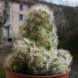 Mammillaria elongata blanc 2