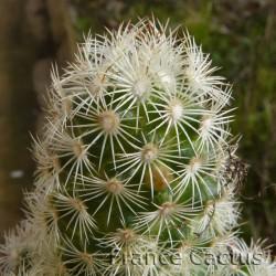 Mammillaria elongata blanc détail 1