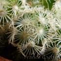 Mammillaria elongata blanc détail 2