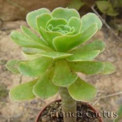 Aeonium arboreum 2