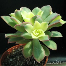 Aeonium Haworthii Pot de 8 cm