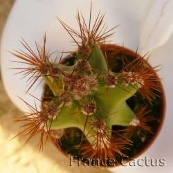 Cereus Jamacaru détail