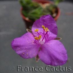 Tradescantia sillamontana fleur