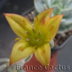 Sedeveria titubans fleur 2