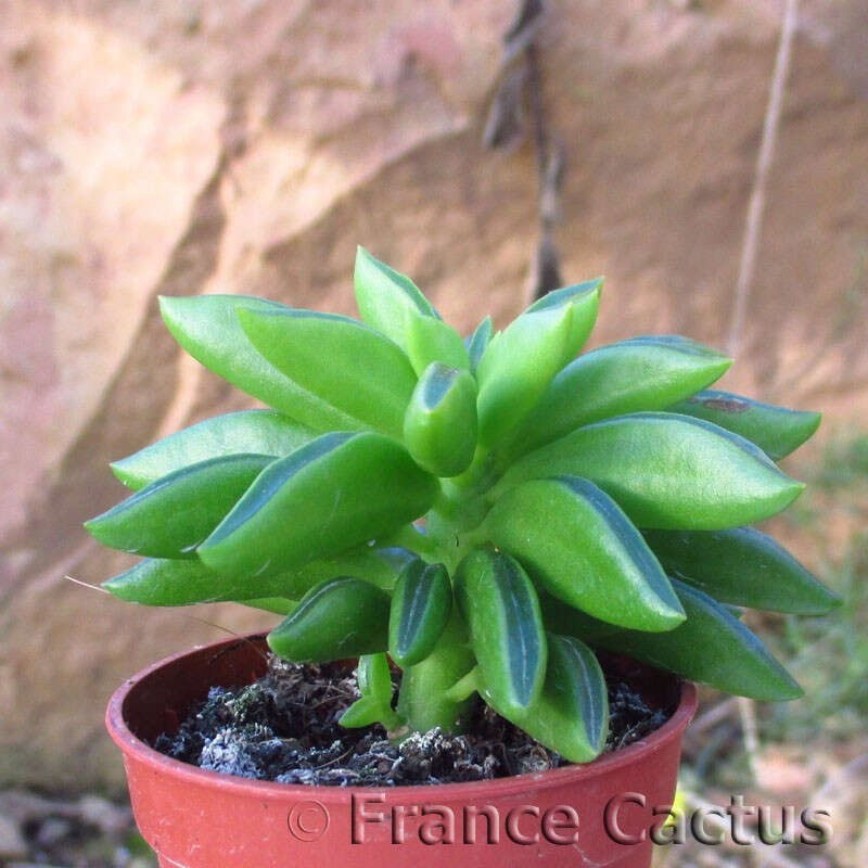 Peperomia ferreyrae