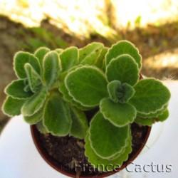 Plectranthus amboinicus 2