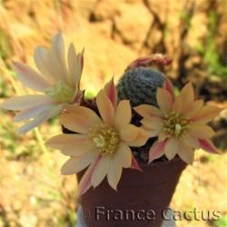 Rebutia heliosa hybride 3