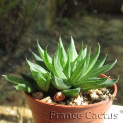 Haworthia cooperi var viridis