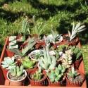 Lot de 20 succulentes variées avec 20 pots