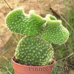 Opuntia microdasys palida undulata