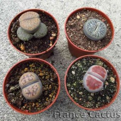 Lot de 4 lithops variés