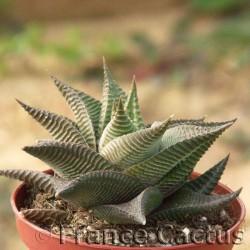 Haworthia limifolia Barbenton 1