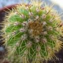 Pachycereus pecten-aboriginum 3