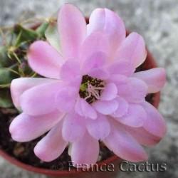 Gymnocalycium mihanovichii  fleur 2