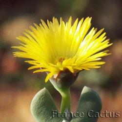 Cheiridopsis Pillansii Fleur 1