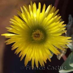 Cheiridopsis Pillansii Fleur 2