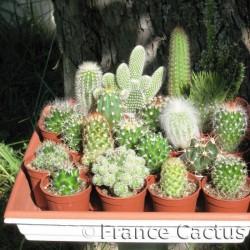 Lot de 20 cactus variés