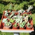 Lot de 20 succulentes variées