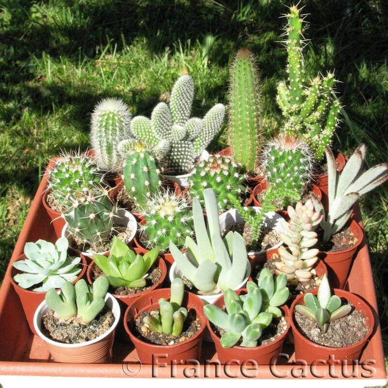 lot de 10 cactus et 10 succulentes. Black Bedroom Furniture Sets. Home Design Ideas