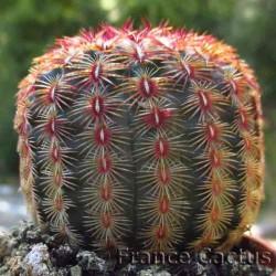 Echinocereus rubrispinus 1