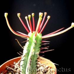 Euphorbia Enopla 1