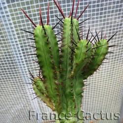 Euphorbia Enopla 5