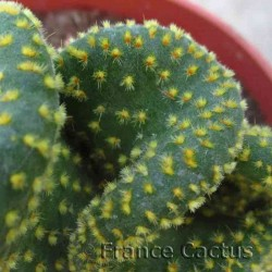 Opuntia microdasys var. undulata en pot de 10,5 cm 2