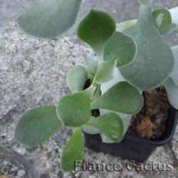 Cotyledon orbiculata en pot de 9x9 cm 3