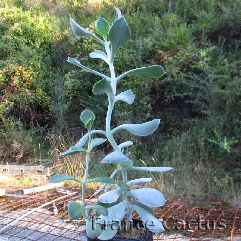 Cotyledon orbiculata en pot de 9x9 cm