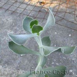 Cotyledon orbiculata en pot de 9x9 cm 2