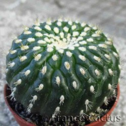 Notocactus uebelmannianus  brevispinus 2
