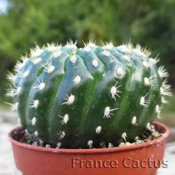 Notocactus uebelmannianus  brevispinus