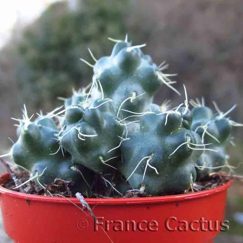 Cumulopuntia subterranea subsp. pulcherrima 1