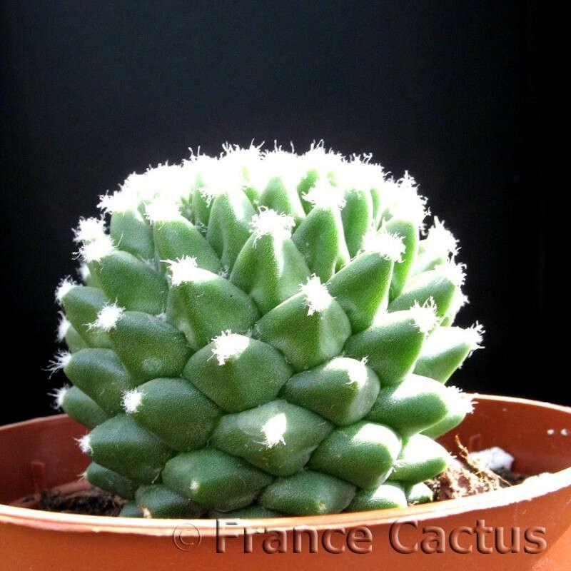 Mammillaria Polythele Inermis pot de 5