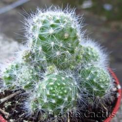Rebutia albiflora 2